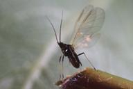 Brachycaudus persicae : adulte ailé