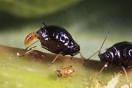 Brachycaudus persicae : adulte aptère