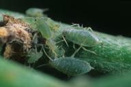 Brachycorynella asparagi : colonie