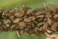 Myzus ascalonicus : colonie