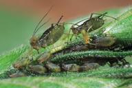 Sitobion fragariae : colonie