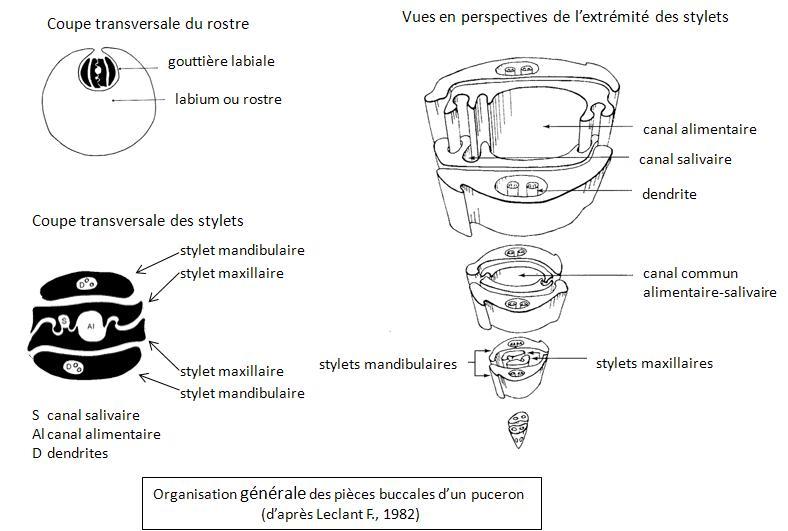 pièces buccales : organisation générale