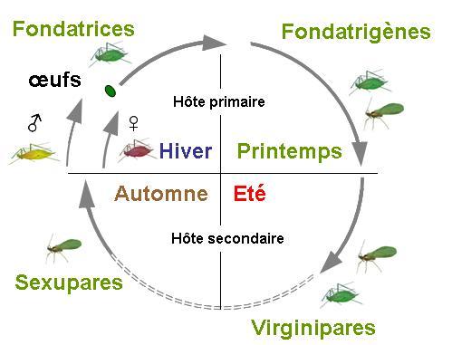 Cycle holocycle dioecique