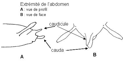 Caudicule