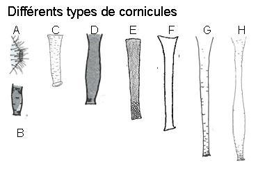 Différents types de cornicules