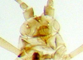 Ocelles visibles chez Metopolophium festucae