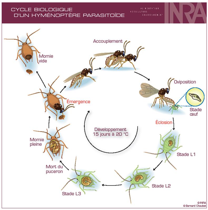 Cycle biologique d'un parasitoide
