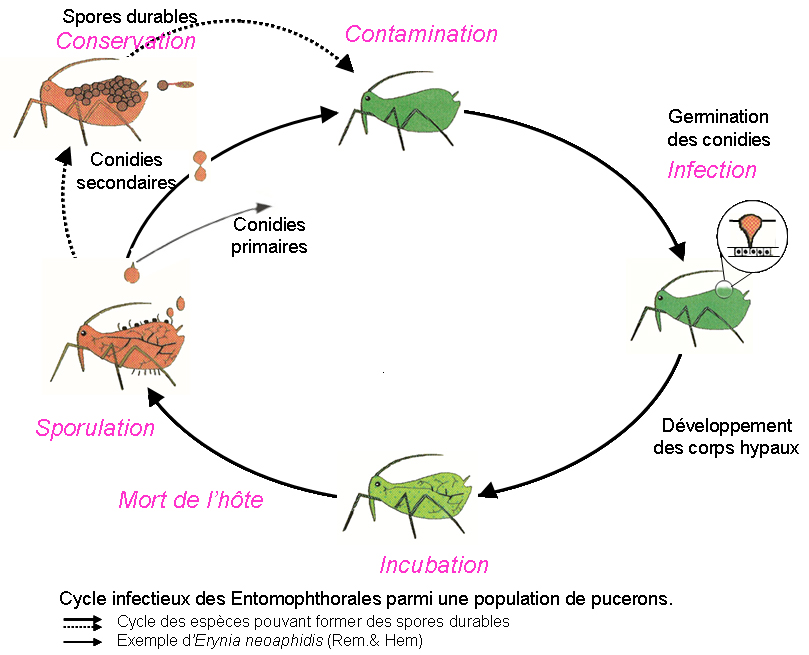 Cycle infectieux des Entomophthorales