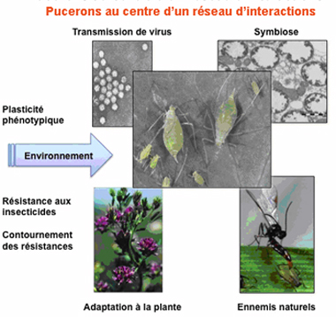 Les pucerons au centre d'un réseau d'interactions