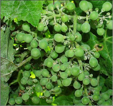 Oïdium de la vigne, symptômes sur baies. Photo P. Cartolaro (INRA, UMR SAVE)