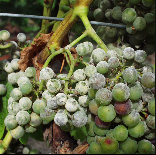 Oïdium de la vigne, symptômes sur grappe. Photo P. Cartolaro (INRA, UMR SAVE)