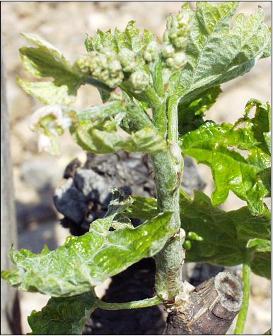 Oïdium de la vigne, symptôme de type drapeau sur jeune rameau. Photo P. Cartolaro (INRA, UMR SAVE)