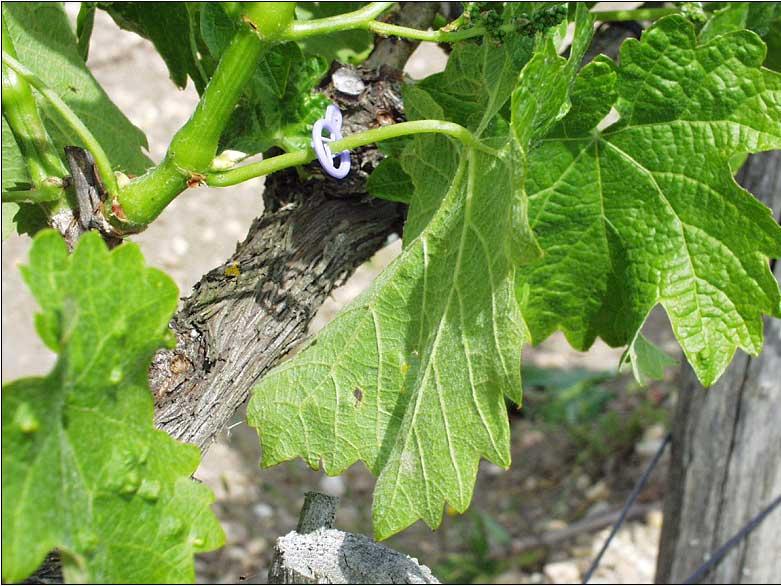 Oïdium de la vigne, symptômes discrets sur la face inférieure de la feuille. Photo P. Cartolaro (INRA, UMR SAVE)