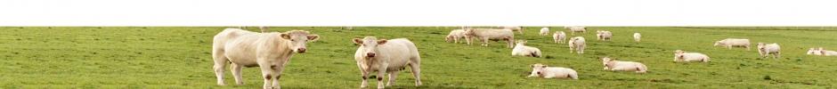 Vaches Charolaises au pré