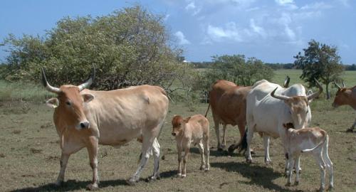 Troupeau vaches créoles
