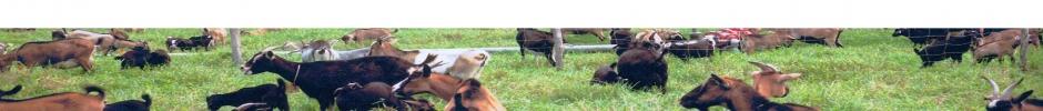 Troupeau de chèvres au pré