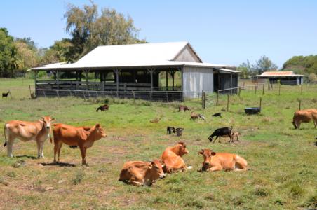 Vaches créoles et chèvres en savane