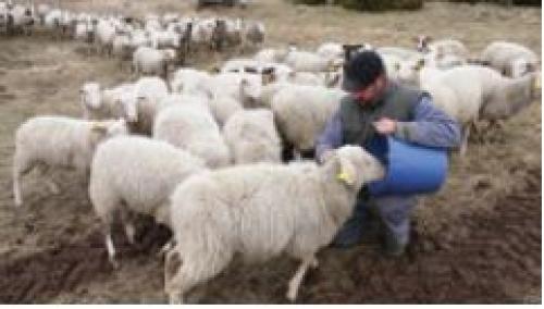 Animalier nourrissant un mouton