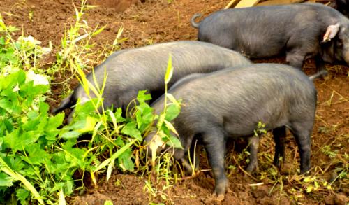 porcs créoles