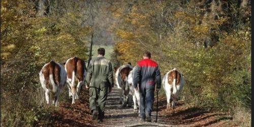 animaliers ramenant le troupeau de vaches