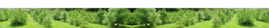 plantation de pins