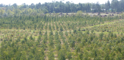 Jeune plantation