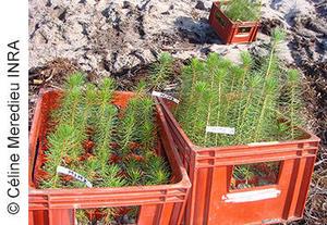 Dispositif pin maritime d'Escources, plantation de pin maritime