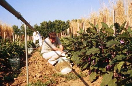 culture d'aubergine, plein champs