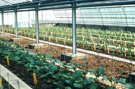 culture de légumes sous serre