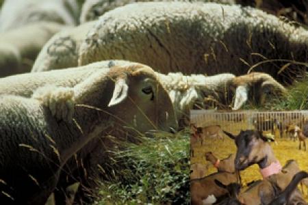 ovins caprins