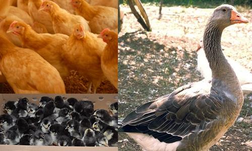 poulet et poussins (gauche), oie (droite)