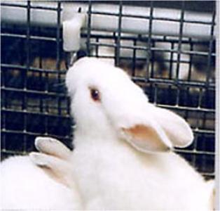 lapin blanc en train de boire