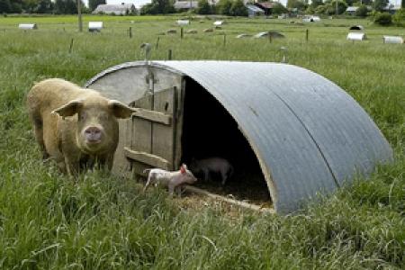 Elevage porcin en plein air