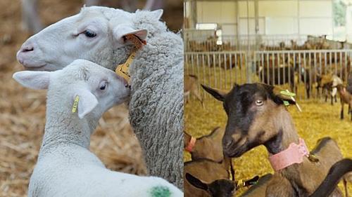 ovins et caprins
