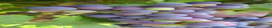 Stade véraison des grappes de raisin - Copyright INRA - Florence CARRERAS