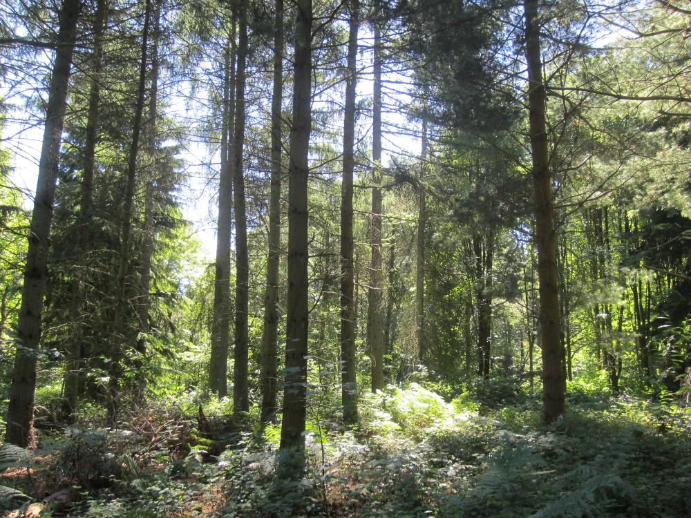 Pinus strobus - Forêt verte