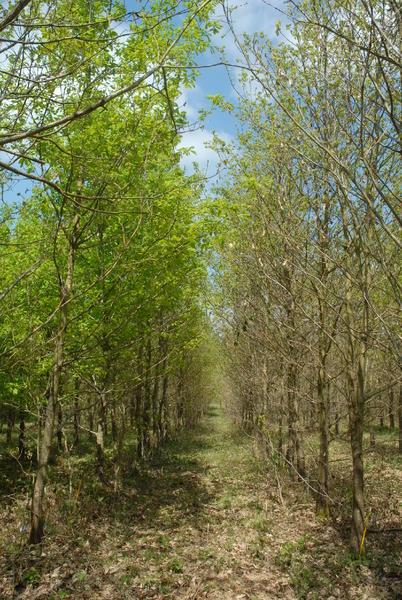Réseau GEN4X : Test chêne sessile (Sillegny, © Ducousso INRA)