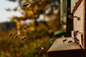 honey-bee-2860488