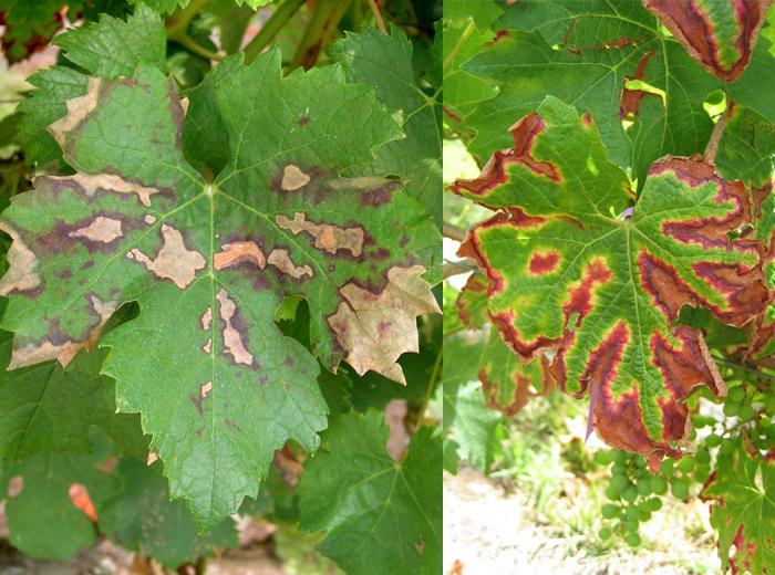 Symptômes foliaires évoluant au cours de la saison