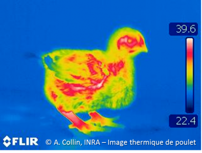 poulet thermique