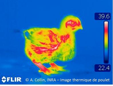 image thermique de poulet
