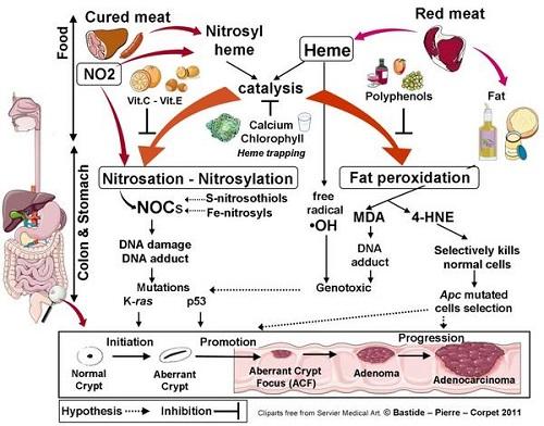 L'hème des viandes catalyse la peroxydation et la nitrosation.