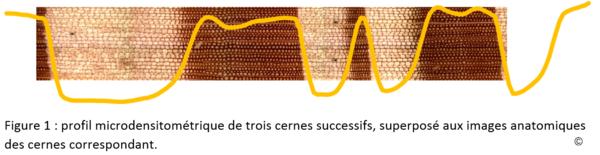 Profil microdensitométrique de trois cernes successifs