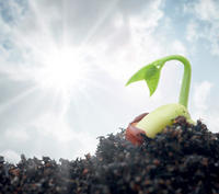 Jeune plante émergeant d'une graine