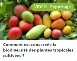 Comment est conservée la biodiversité des plantes tropicales cultivées ?
