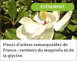 Fleurs d'arbres remarquables de France : senteurs du magnolia et de la glycine