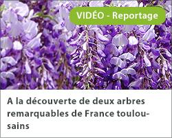 A la découverte de deux arbres remarquables de France toulousains