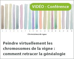 Peindre virtuellement les chromosomes de la vigne : comment retracer la généalogie des cépages