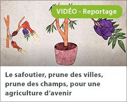 Le safoutier, prune des villes, prune des champs, pour une agriculture d'avenir