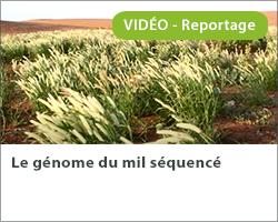 Le génome du mil séquencé